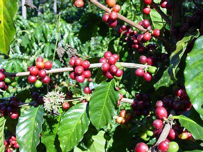coffee_plant